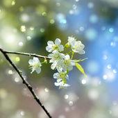 "White flower ""Wild Himalayan Cherry"". — Stock Photo"