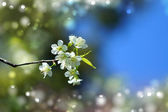 "Vit blomma ""vilda himalayan cherry"". — Stockfoto"