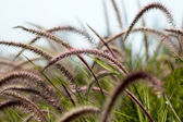 African Fountain Grass, — Stock Photo
