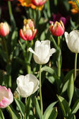 Tulips are blooming in the garden. — 图库照片