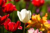Lale bahçesinde çiçek. — Stok fotoğraf