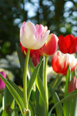 Tulips are blooming in the garden. — Foto de Stock