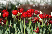 Colorful tulips in the garden. — Stock Photo