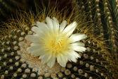 Yellow cactus flower — Stock Photo