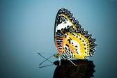 Leopard Lacewing Butterfly. — Stock Photo
