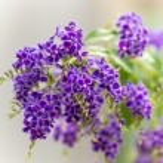 Golden Dew Drop, Pigeon Berry, Sky Flower ( Duranta erecta ), Th — Stock Photo #42041385