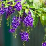 Golden Dew Drop, Pigeon Berry, Sky Flower ( Duranta erecta ), Th — Stock Photo #42041529
