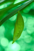Green Butterfly Chrysalis.  — Stock Photo
