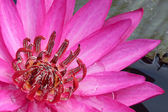 Pink Lotus flower — Stock Photo