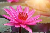 Lotus flowers and sunlight — Stock Photo