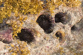Rocky nest of sea -urchins and Seaweed (Sargassum sp.). — Stock Photo