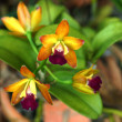 Mini orange orchid flowers. — Stock Photo