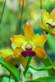 Mini orange orchid flowers. — 图库照片