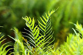 Green fern growing in forest — Stock Photo