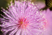 Macro of pink flowers sensitive plant. — Stock Photo