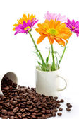 Chrysanthemum and roasted coffee beans isolated on white backgro — Stock Photo