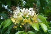White and ellow flower of Crateva religiosa Ham. — Stock Photo