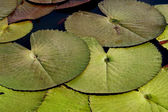 Waterlily blätter. — Stockfoto