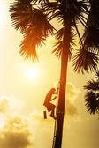 People are climbing palm sugar to keep fresh. — Stockfoto