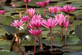 Beautiful pink waterlily flower in blooming — Stock Photo