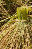 Bouquet of rice plant — Stock Photo