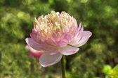 Beautiful pink lotus flower in blooming — Stock Photo