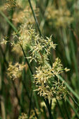 Sedge flower. — Stock Photo