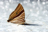 The Common Palmking Butterfly. — Stock Photo