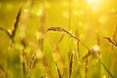 Wild grass in sunset counterlight — Stock Photo