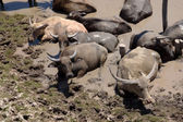 Water buffalo sleep in the mud. Songkhla Lake, Thailand. — Stock Photo