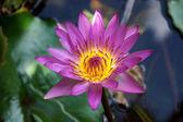 Pink Lotus flower, waterlily. — Stock Photo