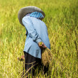 Farmers are harvesting rice — Stock Photo #44854111