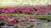 Pink waterlily flower. (Lotus) — Stock Photo