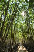 Mangroves tree in the botanical garden — Stock Photo