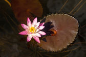Pink waterlily flower. (Lotus) — Stock fotografie