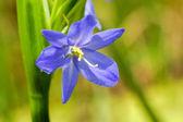 Light purple flowers of Monochoria elata Ridl. — Stock Photo