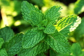 Fresh mint leaves on the tree — Stock Photo