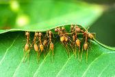 Unity of Ants — Stock Photo