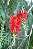 Red bottlebrush flower in bloom — Stock Photo