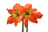 Beautiful Blossoms of orange Amaryllis flower — Stockfoto