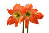 Beautiful Blossoms of orange Amaryllis flower — Stock Photo