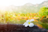 Frangipani flower in the morning. — Stock Photo