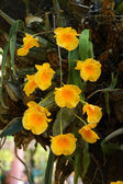 Yellow flower of Dendrobium lindleyi Steud. — Stock Photo