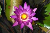 цветок кувшинки. (лотос) — Стоковое фото