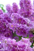Violette farbe des queen's trauerflormyrte blume. — Stockfoto