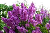 Violet color of Queen's crape myrtle flower. — Stock Photo
