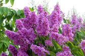 Violet color of Queen's crape myrtle flower. — Stock Photo