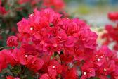 Bougainvillea flower. — Stock Photo