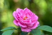 Piękna róża różowy ogród — Zdjęcie stockowe