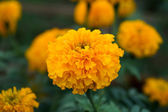 Marigold in the garden — Foto Stock